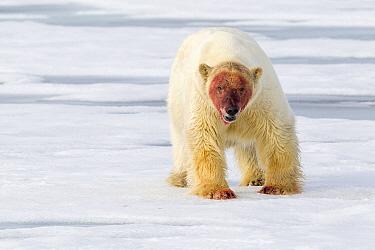 Polar Bear (Ursus maritimus) with bloody face, Svalbard, Norway
