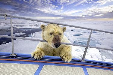 Polar Bear (Ursus maritimus) investigating at boat, Spitsbergen, Svalbard, Norway