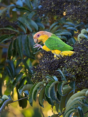 White-bellied Parrot (Pionites leucogaster) feeding on fruit, Mato Grosso, Brazil