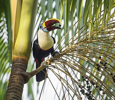 Red-billed Toucan (Ramphastos tucanus) feeding on fruit, Amazon, Brazil