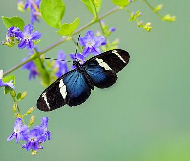 Sara Longwing (Heliconius sara) butterfly, Panama