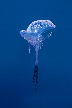 Portuguese Man Of War (Physalia physalis), Azores, Portugal