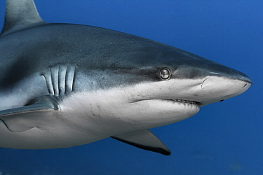 Grey Reef Shark (Carcharhinus amblyrhynchos), Tahiti, French Polynesia