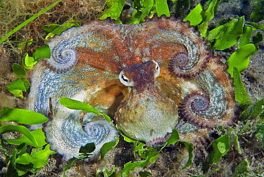 Common Octopus (Octopus vulgaris), Tenerife, Canary Islands