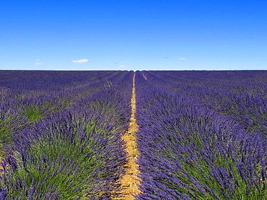 Lavender (Lavandula hybrida) field, Provence, France