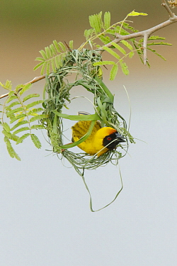 Masked-Weaver (Ploceus velatus) male building nest, Kruger National Park, South Africa, sequence 3 of 4