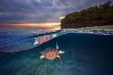 Green Sea Turtle (Chelonia mydas) near coast, Mayotte, Indian Ocean
