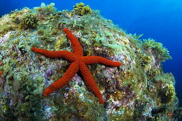 Red Starfish (Echinaster sepositus), La Palma Island, Canary Islands
