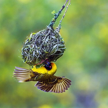 Masked-Weaver (Ploceus velatus) male building nest, Kruger National Park, South Africa