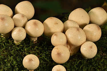 Wolf-fart Puffball (Lycoperdon pyriforme) mushrooms, Forest of Coye, Ile-de-France, France