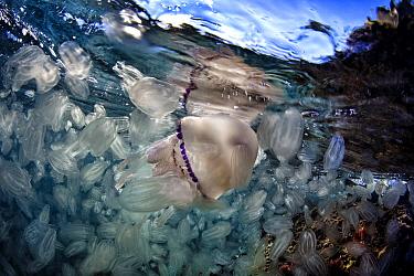Barrel Jellyfish (Rhizostoma pulmo) and comb jellyfish, Mediterranean Sea