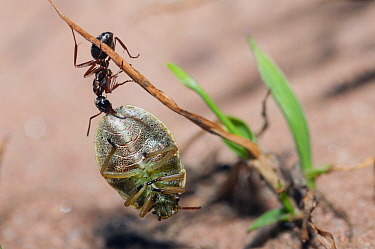 Red Wood Ant (Formica rufa) carrying Shield Bug (Palomena viridissima), Ballons des Vosges Nature Park, France