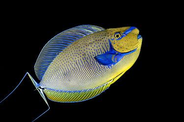 Unicornfish (Naso vlamingii), Tahiti, French Polynesia