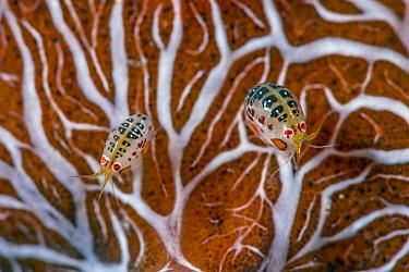 Amphipod (Cyproidea sp) pair, Komodo Island, Indonesia
