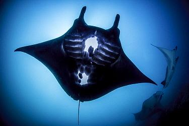 Reef Manta Ray (Manta alfredi), Komodo National Park, Indonesia