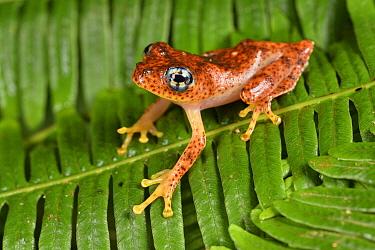 Mantellid Frog (Boophis pyrrhus), Andasibe, Perinet, Madagascar