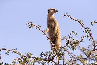 Meerkat (Suricata suricatta) on alert, Kalahari Desert, Northern Cape, South Africa
