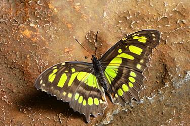 Malachite (Siproeta stelenes) butterfly, Costa Rica
