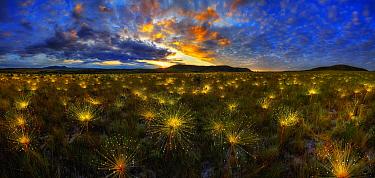 Pipewort (Paepalanthus sp) flowers at sunrise, Brazil