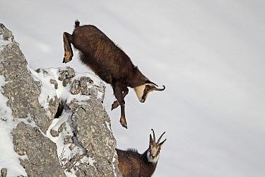 Chamois (Rupicapra rupicapra) jumping over rock in winter, Jura, Switzerland
