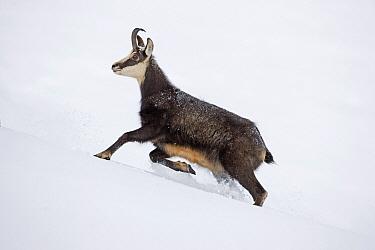 Chamois (Rupicapra rupicapra) running in snow, Jura, Switzerland