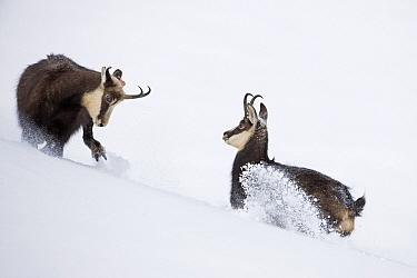 Chamois (Rupicapra rupicapra) pair fighting in snow, Jura, Switzerland