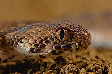 African Saw-scaled Viper (Echis ocellatus), Africa