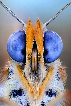 Fritillary (Melitaea sp) butterfly portrait showing compound eyes, Luzzara, Italy