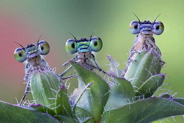 Spreadwing (Lestidae) damselfly trio, Luzzara, Italy