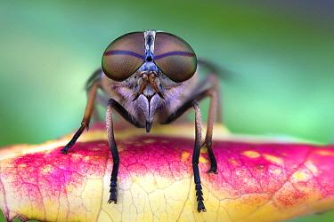 House Fly (Musca domestica), Luzzara, Italy