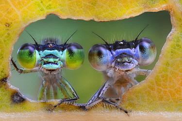Spreadwing (Lestidae) damselfly pair, Luzzara, Italy