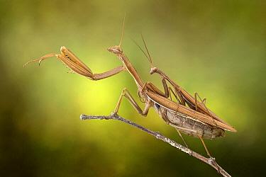 European Mantid (Mantis religiosa) pair mating, Po River, Luzzara, Italy