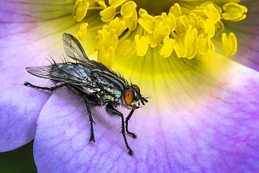 Grey Flesh Fly (Sarcophaga carnaria)
