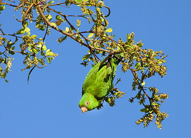 Cuban Parakeet (Aratinga euops) feeding on Bullet Tree (Bucida buceras) fruit, Cuba