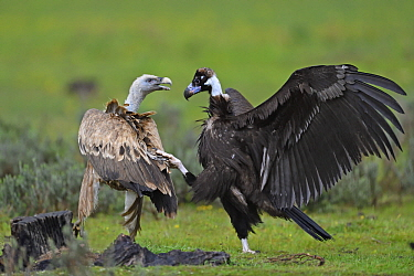 Eurasian Black Vulture (Aegypius monachus) and Griffon Vulture (Gyps fulvus) fighting at feeding station, Extremadura, Spain