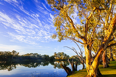 Gum Tree (Eucalyptus sp) group along river, Murray River, South Australia, Australia