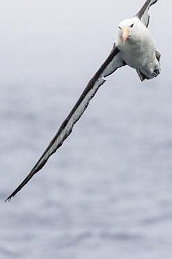 Black-browed Albatross (Thalassarche melanophrys) flying, Southern Ocean