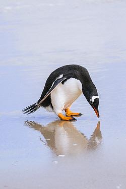 Gentoo Penguin (Pygoscelis papua) looking at reflection on beach, Grave Cove, Falkland Islands