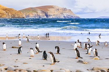 Gentoo Penguin (Pygoscelis papua) group on beach, Grave Cove, Falkland Islands