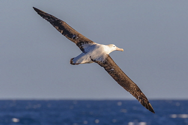 Wandering Albatross (Diomedea exulans) flying, Southern Ocean