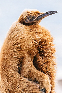 King Penguin (Aptenodytes patagonicus) chick with feathers being blown by the wind, Salisbury Plain, South Georgia Island
