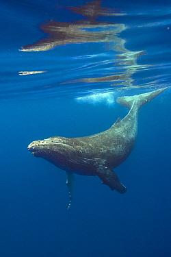 Humpback Whale (Megaptera novaeangliae) calf diving, Maui, Hawaii, image taken under NMFS Permit # 19225
