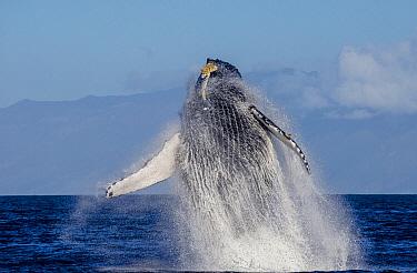 Humpback Whale (Megaptera novaeangliae) breaching, Maui, Hawaii, image taken under NMFS Permit # 19225