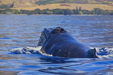 Humpback Whale (Megaptera novaeangliae) surfacing, Maui, Hawaii, image taken under NMFS Permit # 19225