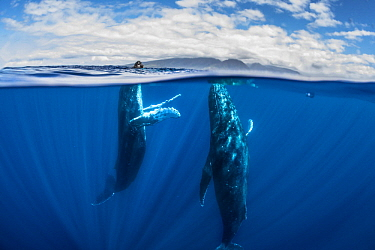 Humpback Whale (Megaptera novaeangliae) male and female courting, Maui, Hawaii, image taken under NMFS Permit # 19225