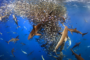 Silky Shark (Carcharhinus falciformis), Galapagos Shark (Carcharhinus galapagensis), Dusky Shark (Carcharhinus obscurus), and Black-tip Shark (Carcharhinus limbatus) group working with Yellowfin Tuna...