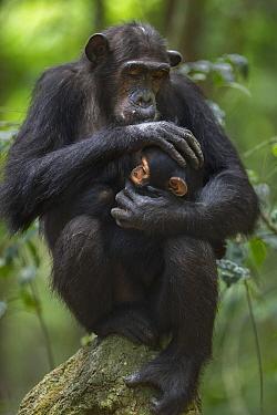 Eastern Chimpanzee (Pan troglodytes schweinfurthii) twenty-two year old female, named Schweini, holding her ten month old infant son, named Shwali, Gombe National Park, Tanzania