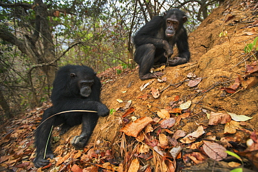 Eastern Chimpanzee (Pan troglodytes schweinfurthii) fifteen year old twins, named Golden and Glitter, termite fishing, Gombe National Park, Tanzania