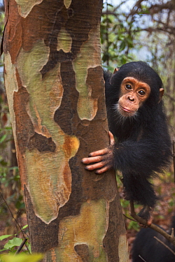 Eastern Chimpanzee (Pan troglodytes schweinfurthii) sixteen month old baby female, named Gossamer, in tree, Gombe National Park, Tanzania