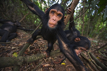 Eastern Chimpanzee (Pan troglodytes schweinfurthii) three year old baby male, named Fifty, playing with his five year old sister, named Fadhila, Gombe National Park, Tanzania